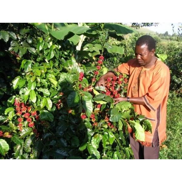 قهوه روبوستا اوگاندا