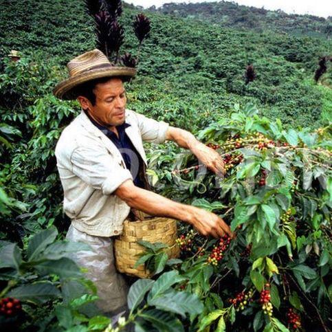 مزرعه قهوه کلمبیا