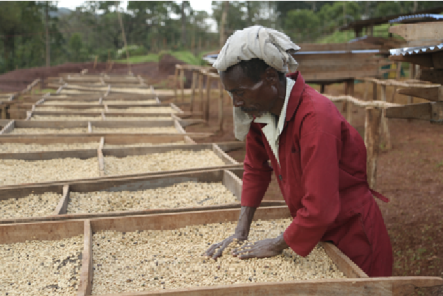 مزرعه تولید قهوه اتیوپی