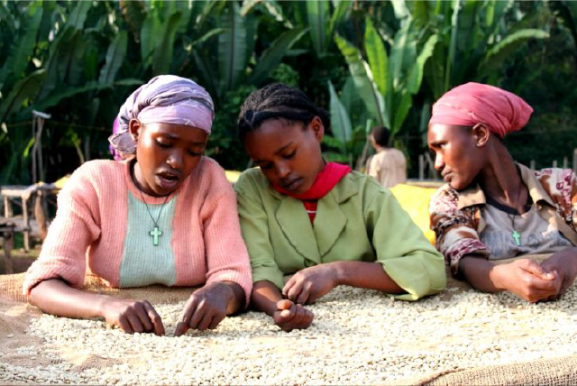 پرورش قهوه اتیوپی