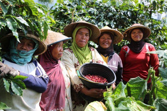 مزارع قهوه روبوستا جاوه