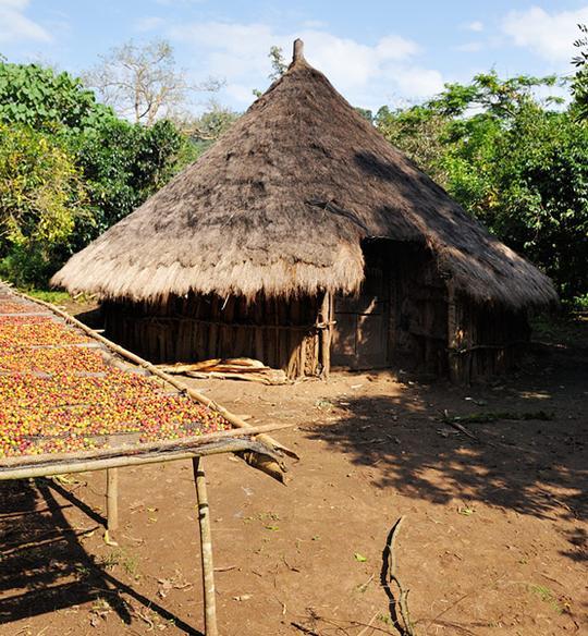 مزرعه قهوه کوچره اتیوپی