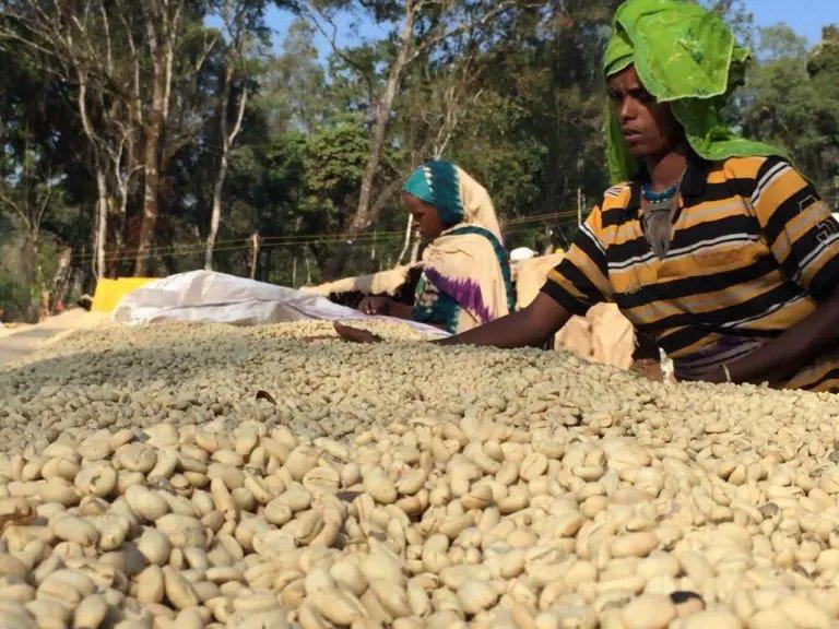 پردازش قهوه اسپشیالیتی گوجی اتیوپی